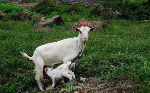 海岛—山羊