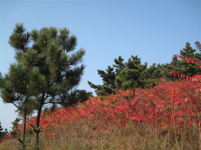 秋—火炬树